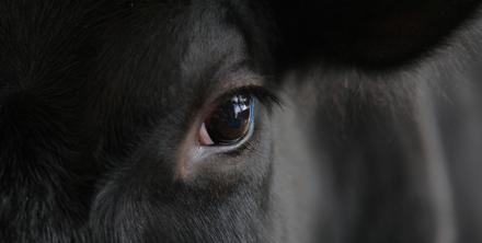 Een koe heeft prachtige, maar niet te peilen ogen.